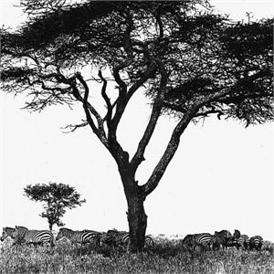 Zebras Tanzania (1/20), 1993