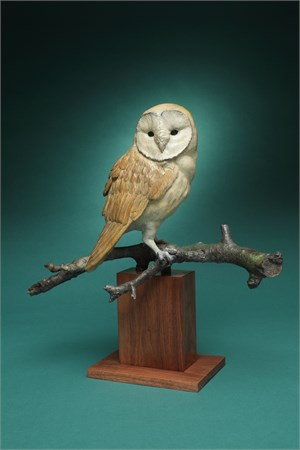 Barn Owl (5/20)