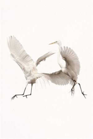 Audubons Chase