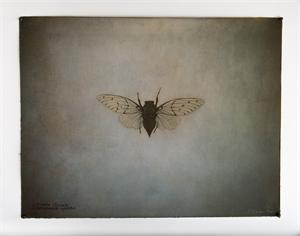Apache Cicada, 2019