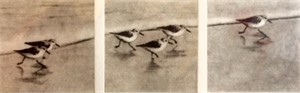 Sanderlings_UF