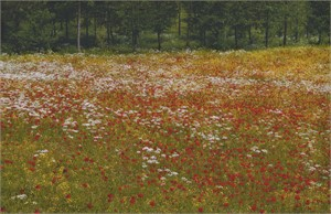 Poppy Field #3, Bazzano, Italy, 2005