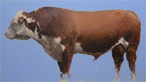 A Big Old Red and White Hereford Bull