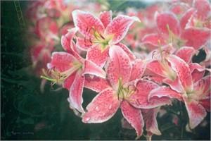 Lilies Way