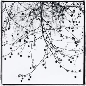 Sweetgum by Kathryn Kolb