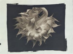 (#89) Sunflower (1/34) by Frank Hunter