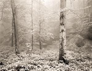 (#276) Beech Tree Cedar Falls  6/21 by Frank Hunter