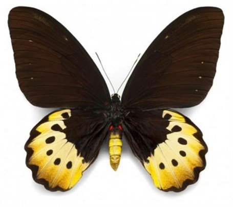 Female Goliath Birdwing