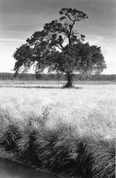 Grassy Oak, II