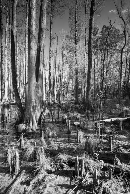 Caw Caw Swamp