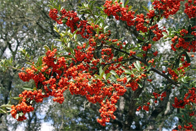 Pyracantha Red