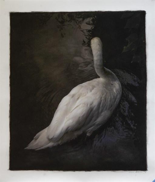 Swan, Tuscany, Italy