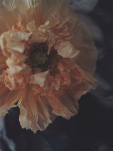 The Wrinkled Rose