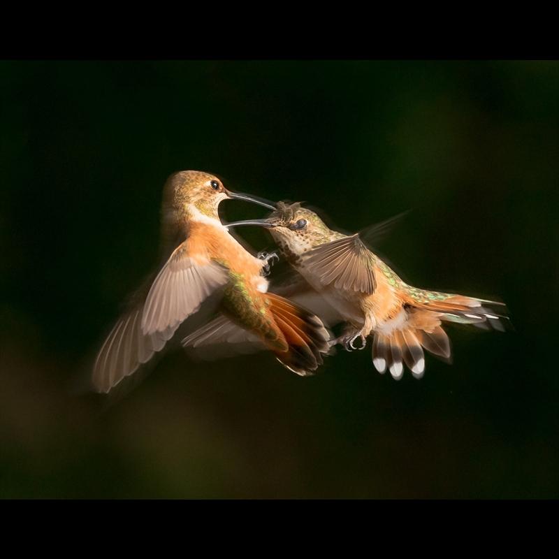 Sedona Hummingbirds 3-AW