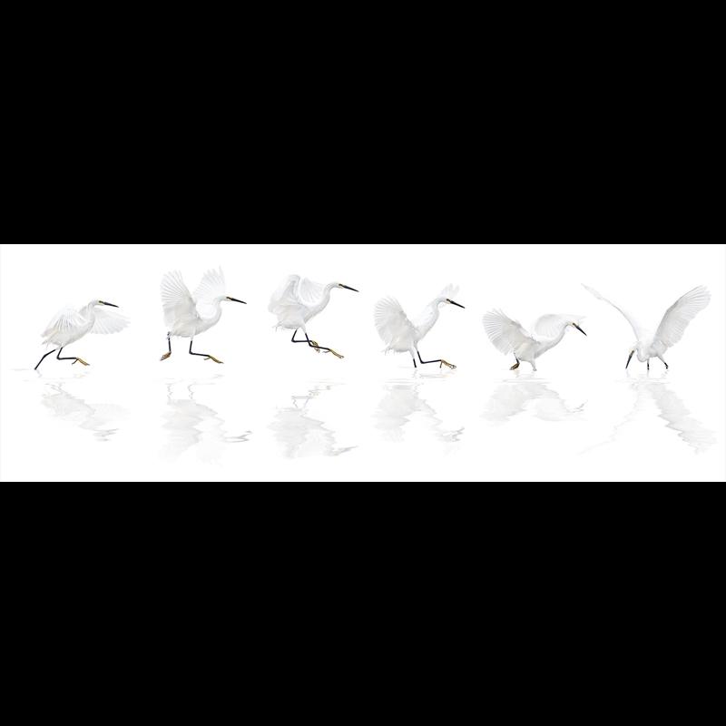 Dance of the Snowy Egret-Framed