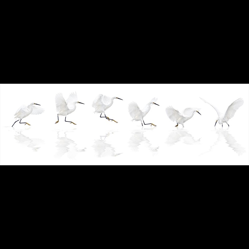 Dance of the Snowy Egret-Scroll, 2018