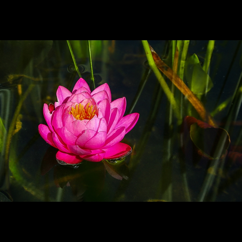 Red Water Lily-S