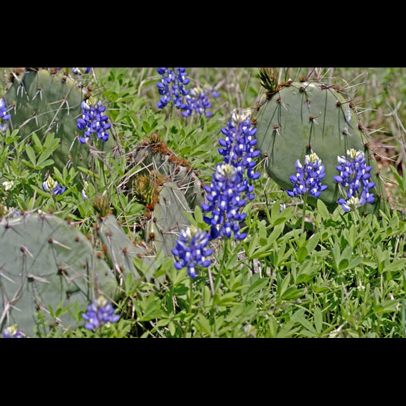 Spring Bluebonnets and Cactus