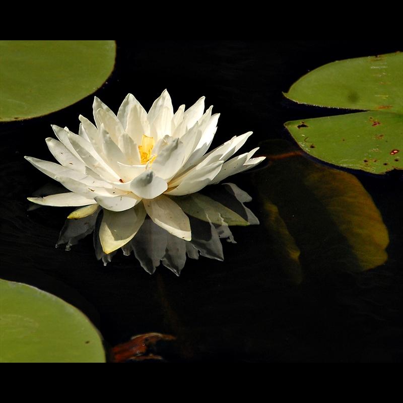 White Lotus-S