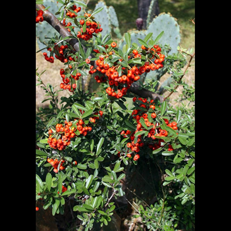 Pyracantha & Cactus Bloom