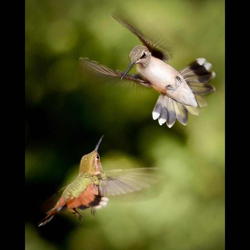 Sedona Hummingbirds 2-AW