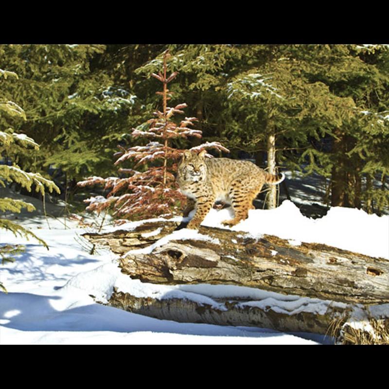Vigilant Bobcat