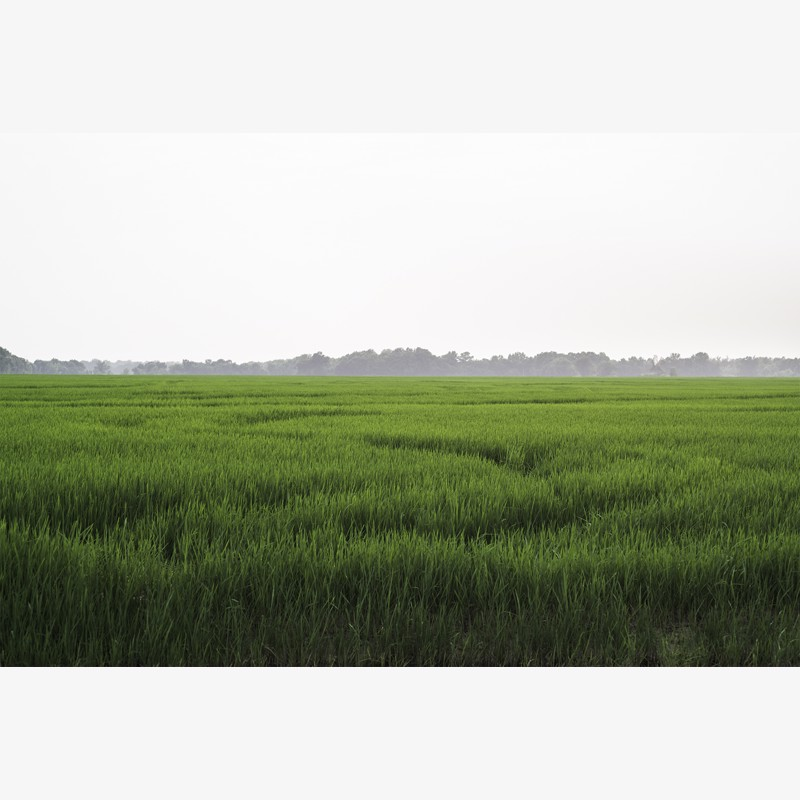 Arkansas Rice Field by Frank Sherwood White