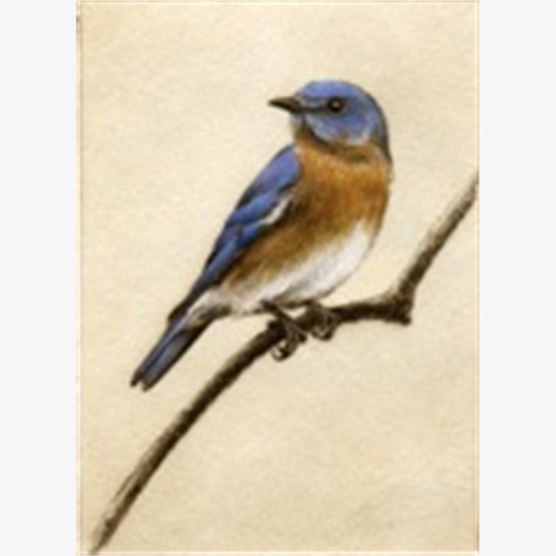 Bluebird_UF (86/100)