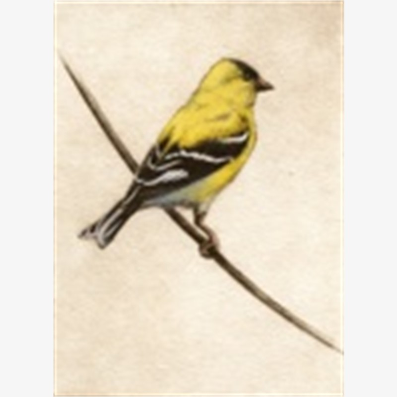 Goldfinch_UF (63/100)