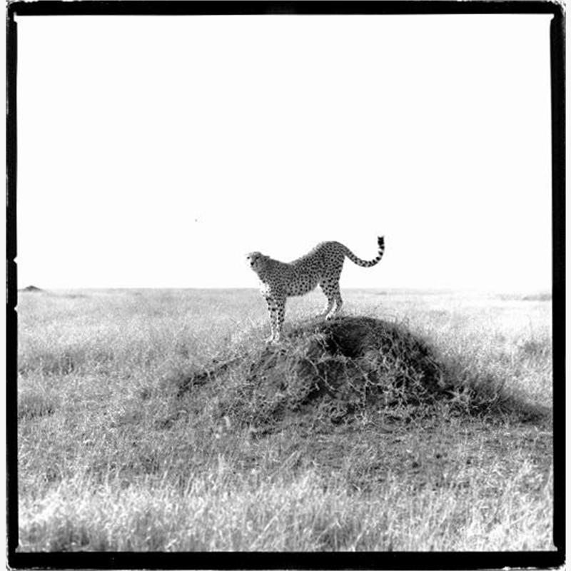 Cheetah Tanzania (1/20), 1993