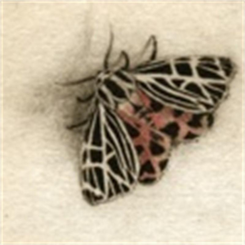 Tiger Moth_UF (58/100)