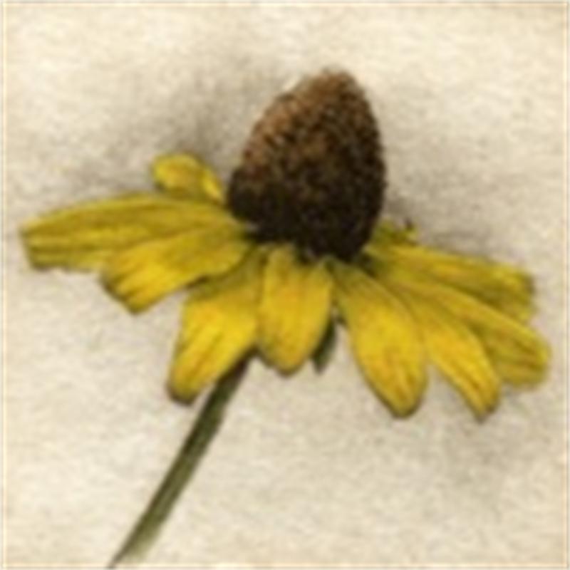 Brown-eyed Susan_UF (63/150)