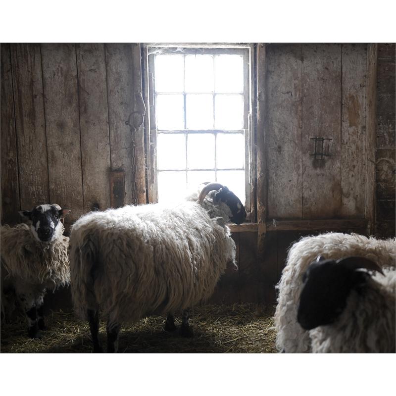 Sheep in Barn Window (1/25)