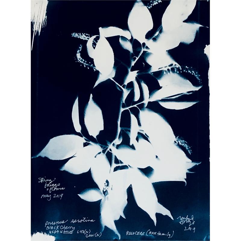 Prunus serotina Black Cherry Rosaceae (Family)