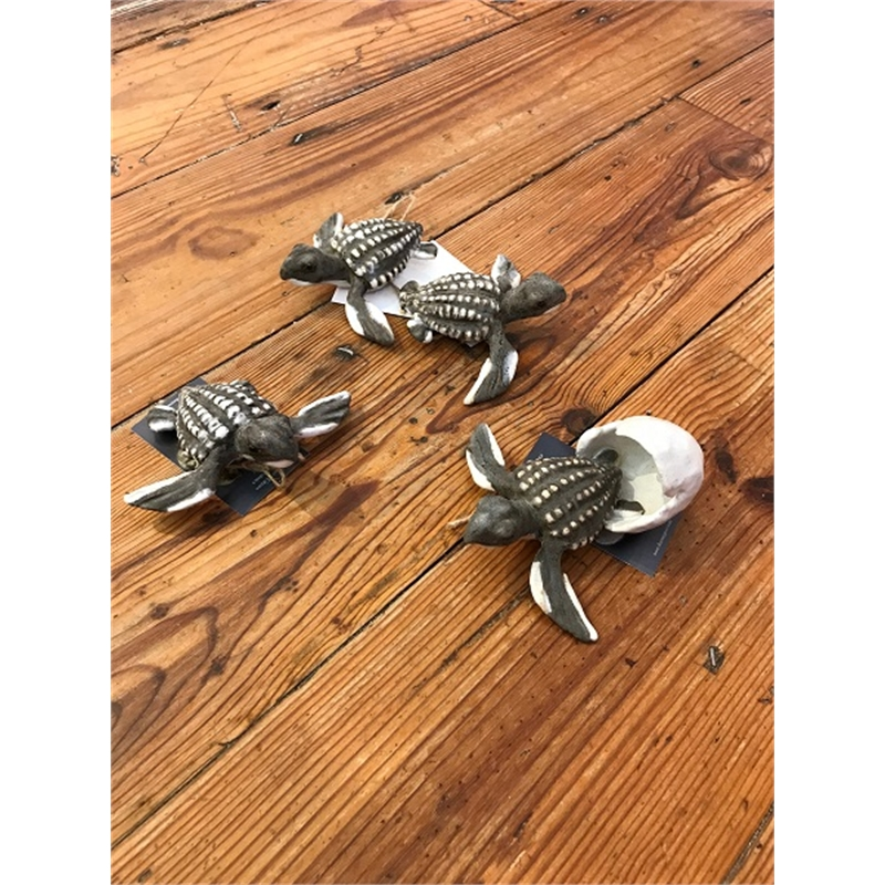 Wall Leather Back Turtle Hatchlings, 2019