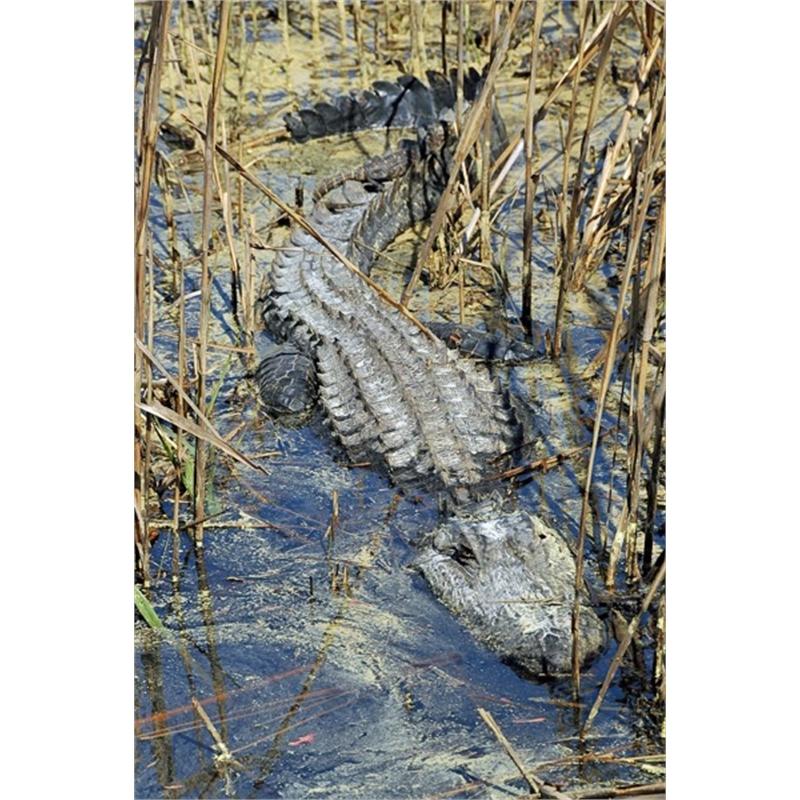 Gator in Reeds
