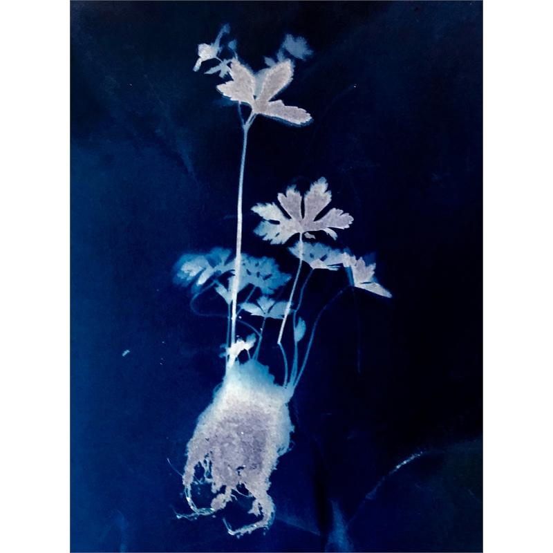 Geranium maculatum L. Wild spotted Geranium Geraniacae (Family)