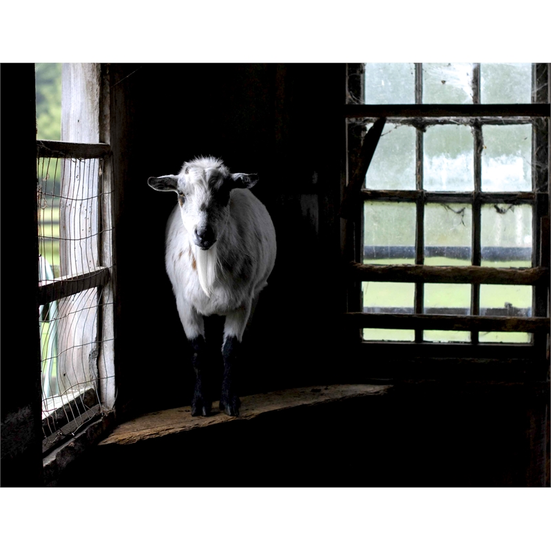 Goatie on the Edge (1/25)