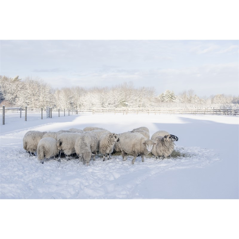 Winter Sheep (1/5)