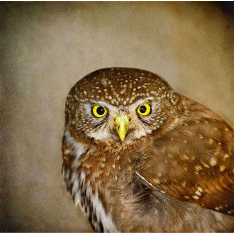 Song of a Northern Pygmy Owl III, 2015