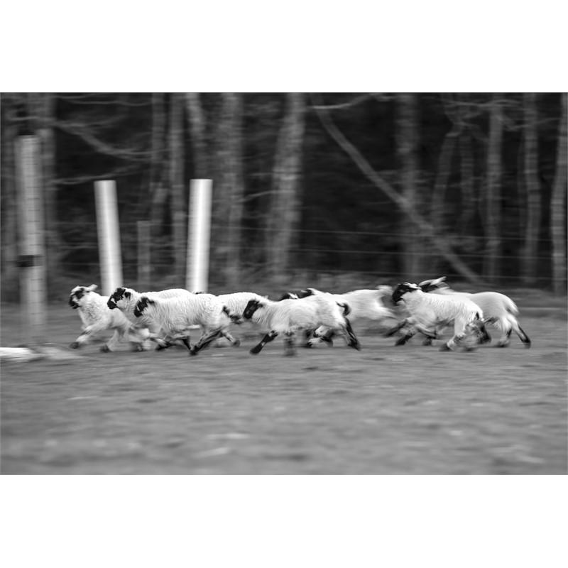 Running Lambs (1/5)