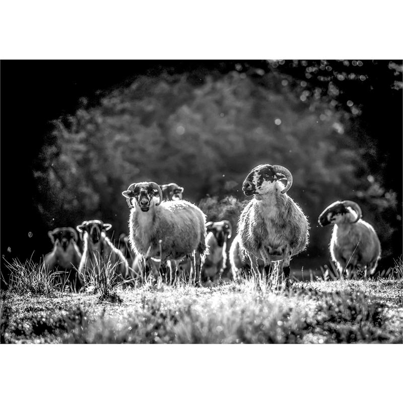 August Sheep (1/25)