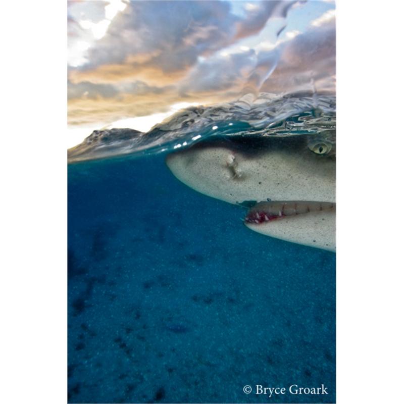 Lemon Shark (2/20), 2019